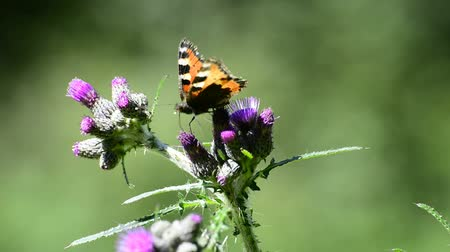 devedikeni : Red admiral on thistle, butterfly of Germany Stok Video