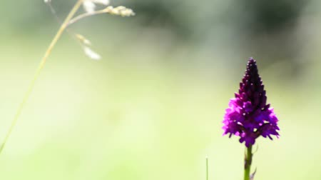 pyramidal : Pyramid orchid, wild flower of Germany