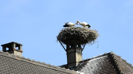 fészek : Young storks clattering in a nest on a roof in Selz, alsace, France