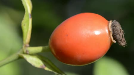 rosehips : Rose hips, closeup of the ripe fruits Stock Footage