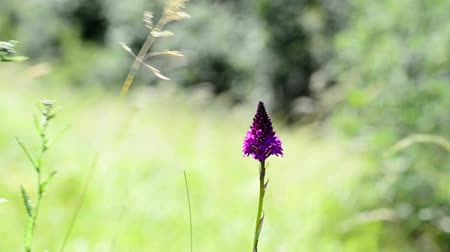 pyramidal : Pyramidal orchid, Anacamptis pyramidalis in a meadow in Germany