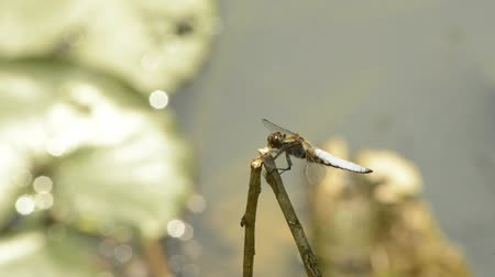 libellula depressa : Broad-bodied chaser on a cattail leaf