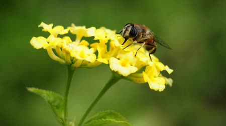 west wing : Hoverfly on lantana flower