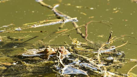 rana : Frogs during reproduction in a pond