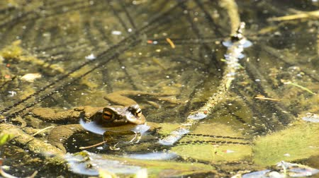 rana : Frog in a lake Stock Footage