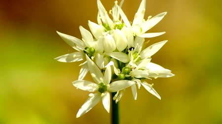 sarımsak : Flower of wild garlic in spring