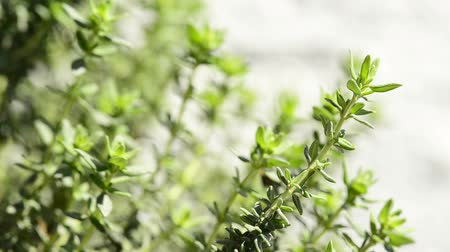 listki : Thyme, spice and medicinal plant, closeup of the herb