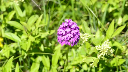 pyramidal : Pyramidal orchid in Germany Stock Footage