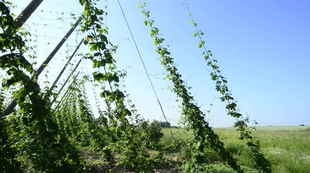 plantio : Hop plantation in France Stock Footage