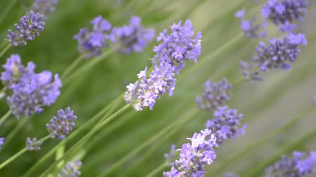 medicina alternativa : Flor de la lavanda en verano Archivo de Video