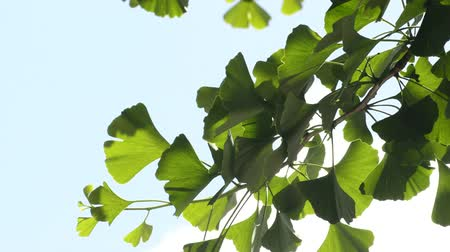 biloba : Ginkgo biloba Asian medicinal tree with leaves Stock Footage