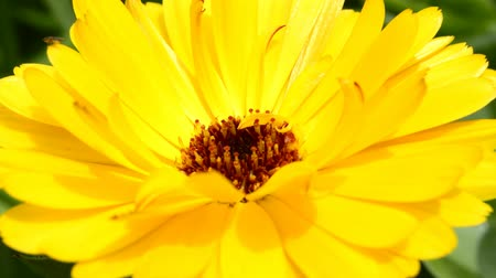 calendula officinalis : Common marigold medicinal plant with flower