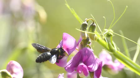 violacea : Carpenter bee, Xylocopa violacea, on vetch flower