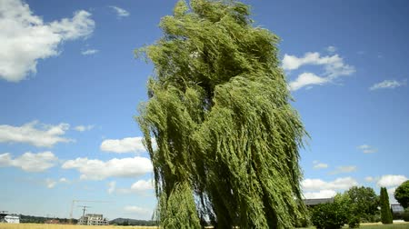vítr : Babylon willow, Salix babylonica, in strong wind