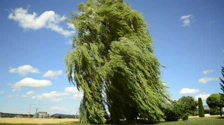 сильный : Babylon willow, Salix babylonica, in strong wind