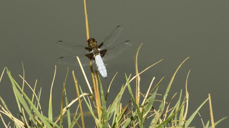 libellula depressa : Broad-bodied chaser on a leaf Stock Footage