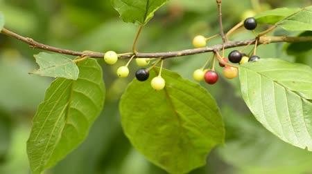 herbal : Alder buckthorn, Rhamnus frangual, medicinal tree with berries