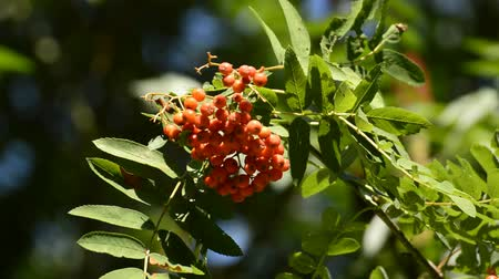 sorbus : Sorbus aucuparia, rowan, with berries Stock Footage