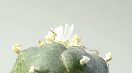 peyote : Peyote cactus with flower on turn table Stock Footage