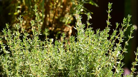 mar : Thyme medicinal plant and spice