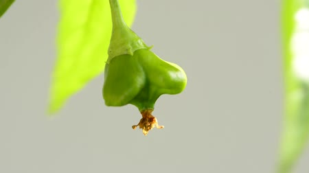 pimenta : Chili bishops crown on a plant
