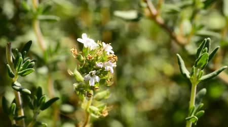 mar : Thyme medicinal plant and spice, flower