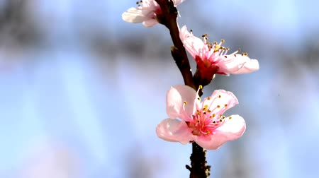 şeftali : Peach blossom in spring Stok Video