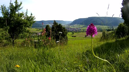 pyramidal : Pyramidal orchid with panoramic view to the mountains German Swabian Alb