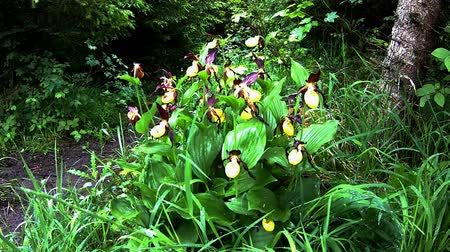 calceolus : lady slipper orchid, wildflower in Germany
