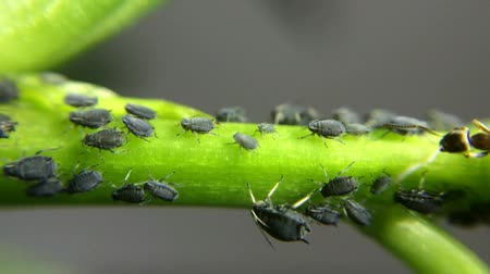 lice : lice on a plant