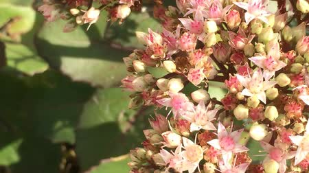 polinização : Bee on Sedum flower Stock Footage