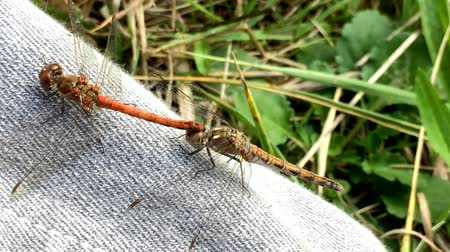 reprodukció : common darters during reproduction