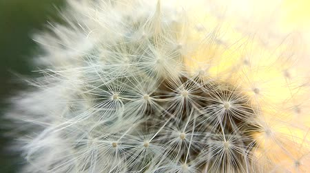 homeopati : Dandelion, seeds dancing in the wind Stok Video