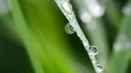 gota de orvalho : Dew drop on grass
