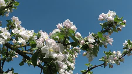 idil : Apple blossom in Germany