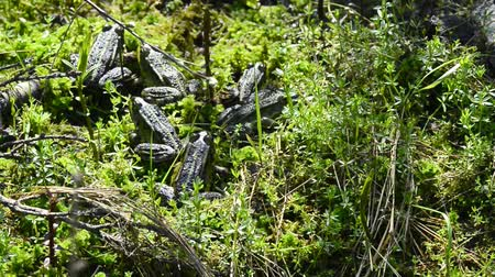 karakurbağası : Water frogs in a moor reserve Stok Video