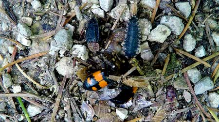 magnólia növény : burying beetles working on a dead snail with other insects Stock mozgókép