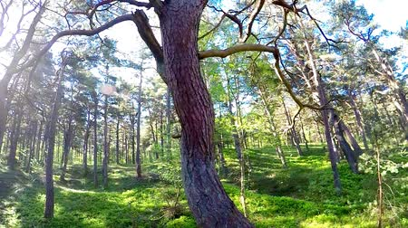 pinus : odd, old scots pine in a forest at the Baltic coast in Poland Stock Footage