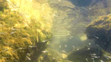 palaemon : swarm of young sea lampreys in the Baltic sea Stock Footage