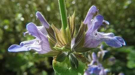 salvia : Sage plant and spice with flower medicinal
