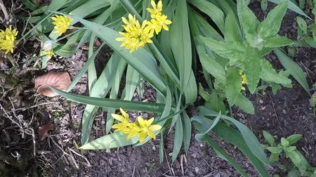 ornamentální : Golden garlic, medicinal herb with flower