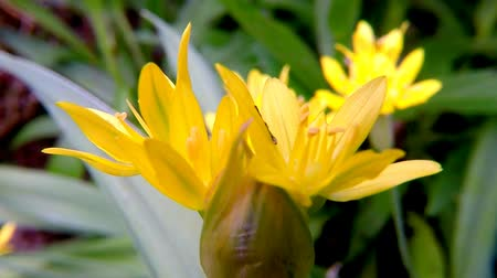 pırasa : Golden garlic, medicinal herb with flower