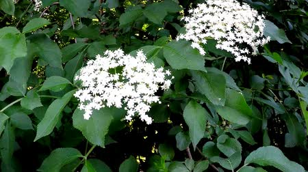 mürver : Elder flower in spring in Germany Stok Video