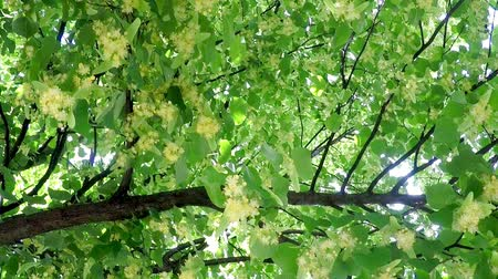 linden : Small leaved lime, medicinal tree with flower Stock Footage