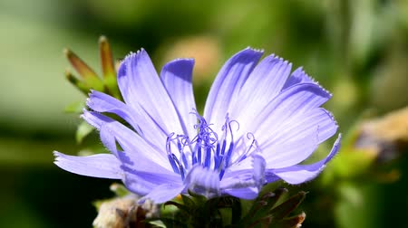 otsu : Common chicory, Cichorium intybus, flower of the food and medicinal plant