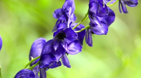 homeopathic : Aconite, Aconitum napellus, most toxic plants of the world, medicinal plant with flower