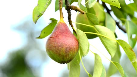pereira : Pear for a cider at a tree
