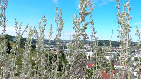 alternatif tıp : Absinthe, herbs in Germany with background of the city Heidenheim