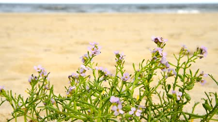 vaga : sea ??lavender on a beach of the baltic sea