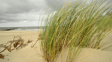 balti tenger : Beach of the Baltic sea with beach grass and wind